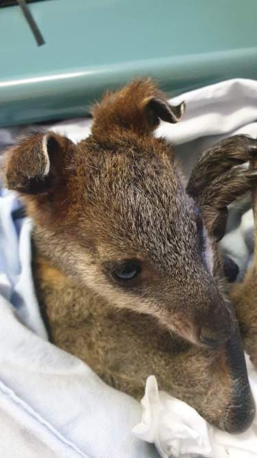Wallaby with burnt ears. Photo: Jodie Isaac