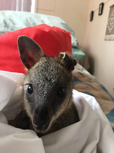 Ashy the Swamp Wallaby